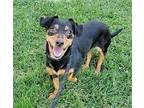 Missy, Dachshund For Adoption In Modesto, California