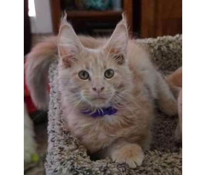 Maine Coon MALE PIPER is a Male Maine Coon Young For Sale in Defuniak Springs FL