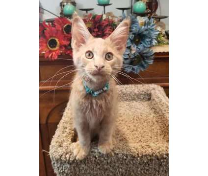 Maine Coon MALE TITAN is a Male Maine Coon Young For Sale in Defuniak Springs FL