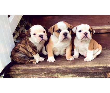 English Bulldog is a Male Bulldog Puppy For Sale in London KY