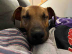 Adopt BUSTER a Brown/Chocolate Miniature Pinscher / Mixed dog in Atlanta