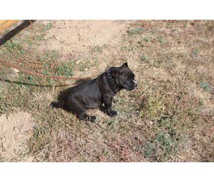 Bully pup for sale is a Male For Sale in Colorado Springs CO