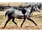 Amazing hunter jumper dressage or eventing prospect five year old mare