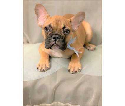 Adorable French Bulldogs is a Male Bulldog, French Bulldog For Sale in Irvine CA