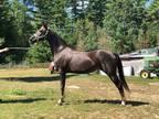 Lovely junior exhibitoradvanced beginner horse