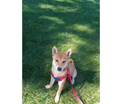 Shiba Inu Puppies is a Female Shiba Inu Puppy For Sale in Colorado Springs CO