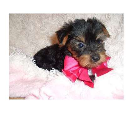 Yorkie is a Female Yorkshire Terrier Puppy For Sale in Jackson MS