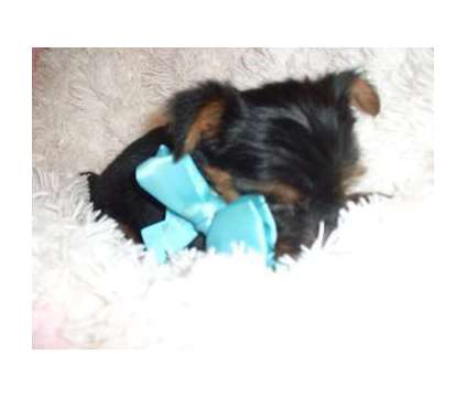 Yorkie is a Male Yorkshire Terrier Puppy For Sale in Jackson MS