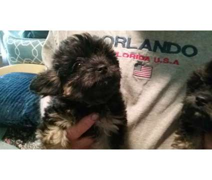 puppy for sale is a Male Puppy For Sale in Tucson AZ