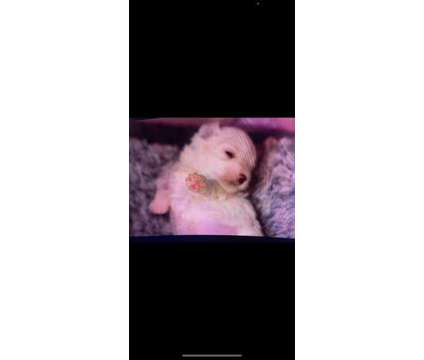 Maltese Puppy is a Female Maltese Puppy For Sale in Monroe NY