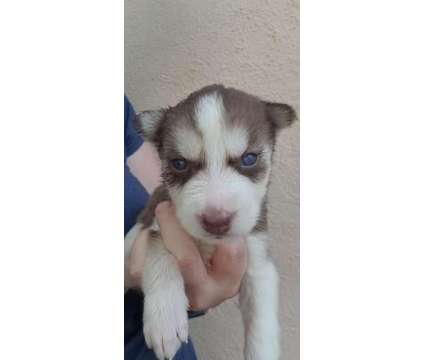 AKC Siberian Husky Puppies is a Female Siberian Husky Puppy For Sale in Saint Louis MO