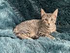 Adopt NED - BOTTLE BABY SWEETIE! a Domestic Short Hair, Tabby