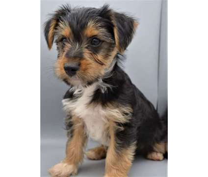 AKC Yorkshire Terrier Puppies is a Male Yorkshire Terrier Puppy For Sale in Greer SC