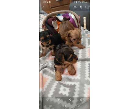 Purebred Yorkies is a Female Yorkshire Terrier Puppy in Lubbock TX