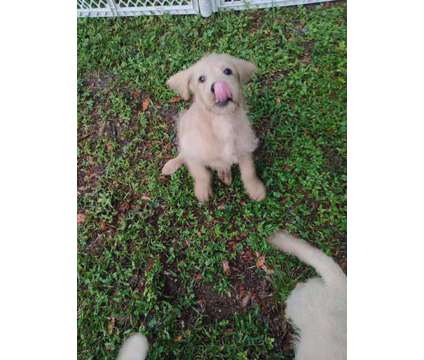 Labradoodle Puppies is a Male Labradoodle Puppy For Sale in Webster FL