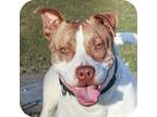 Adopt Freddie 30053-d a White American Pit Bull Terrier / Mixed dog in Ithaca