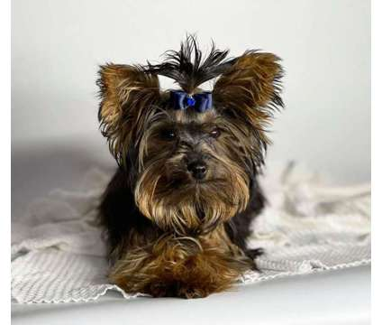 FCI AKC Male Yorkie 3 lbs 6 months old Full Grown is a Male Yorkshire Terrier For Sale in Modesto CA
