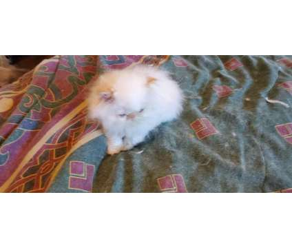 Himalayan Persian Kitten for sale is a Female Himalayan, Persian Kitten For Sale in Grand Prairie TX