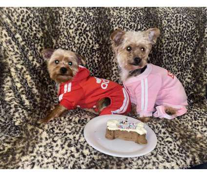 yorkie/ yorkiepoo puppies is a Male Yorkshire Terrier Puppy For Sale in Hayward CA