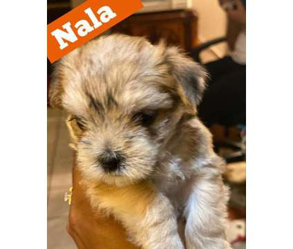 Morkie Puppies for Sale is a Female, Male For Sale in Peoria IL