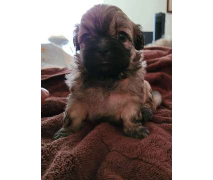 Beautiful Delta is a Female Shih-Poo Puppy For Sale in Charleston SC