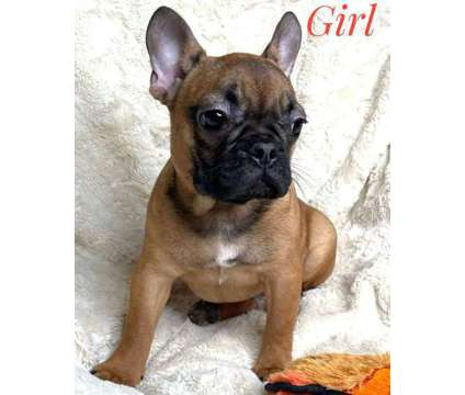 French Bulldog Puppies is a Male French Bulldog Puppy For Sale in Granite Falls WA