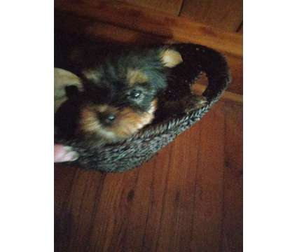 Puppies is a Female Yorkshire Terrier Puppy For Sale in North Wilkesboro NC