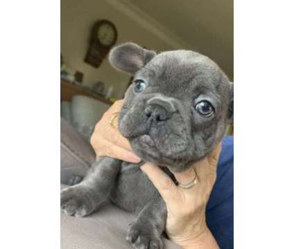 Akc Reg Blue French Bulldog Puppies Ready is a Blue Male French Bulldog For Sale in Woodbury MN