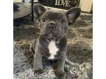 Male Blue French Bulldog Puppy Available