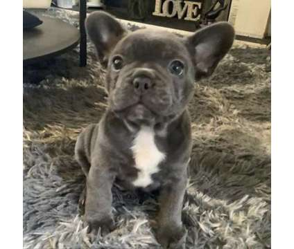 Male Blue French Bulldog Puppy Available is a Blue Male French Bulldog For Sale in Minneapolis MN