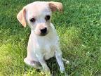 MIGHTY LIL MASON Chihuahua Puppy Male