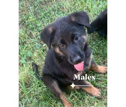 German Shepard puppies is a Male For Sale in Fort Meade FL