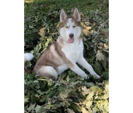 Husky Puppy is a Female Siberian Husky For Sale in Crystal Lake IL