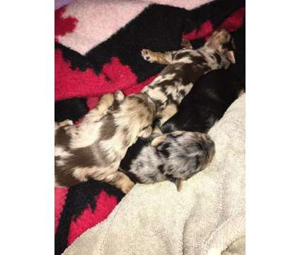 Yorkies rare merles for sale. Home raised is a Yorkshire Terrier Puppy in Osterville MA