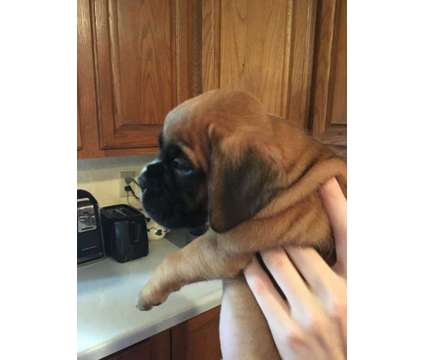 AKC Boxer Pups (2 females available) is a Female Boxer Puppy For Sale in Wenatchee WA