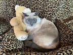 Hermione And Lizzie, Siamese For Adoption In Metairie, Louisiana