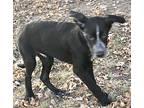Flynn, Labrador Retriever For Adoption In Minneapolis, Kansas