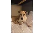 Adopt TEDDY a Tan/Yellow/Fawn - with White Anatolian Shepherd / Mixed dog in