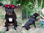Adopt LALA a Black - with White Mixed Breed (Medium) / Mixed dog in Chatsworth