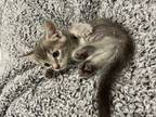 Adopt Boo Adopt Me With My Best Friend! a Domestic Short Hair, Bengal