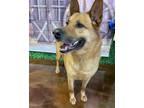 Adopt A156705 a German Shepherd Dog