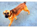 Adopt Dolly a Brown/Chocolate - with Black Hound (Unknown Type) / Mixed dog in