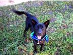 Adopt Sooner a Black Shepherd (Unknown Type) / Mixed dog in Muldrow