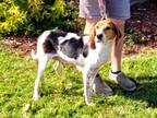 Adopt Sable a Treeing Walker Coonhound