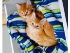 Adopt Gin & Tonic (bonded kittens) a Domestic Medium Hair