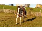 Bay and white gelding