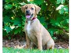 PUPPY RAY O' SUNSHINE Labrador Retriever Puppy Male