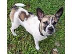 Mochi Terrier (Unknown Type, Medium) Puppy Male