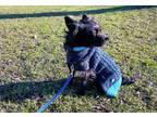 Adopt Ebony a Yorkshire Terrier, Boston Terrier