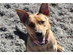 Adopt Sadie a Tan/Yellow/Fawn - with Black German Shepherd Dog / Catahoula